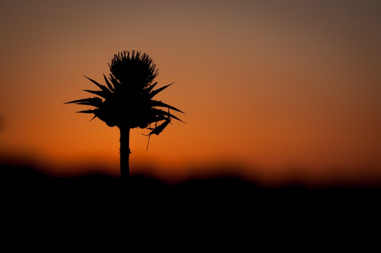Thistle in front of sunset